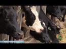 День за днем. Ветеринары занимаются профилактикой нодулярного дерматита