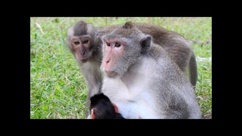 He want to do Newborn Baby Monkey?, Baby Monkey So Lovely