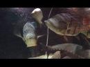 Cichla temensis feeding