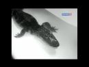 Девочка и крокодил (1956) /Avaros/