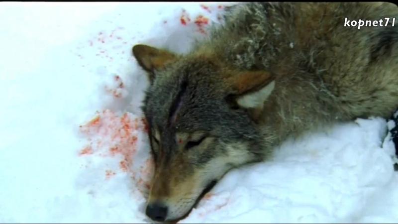 Волчья кровь – гр.Комиссар