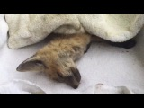We rescued a baby fox!