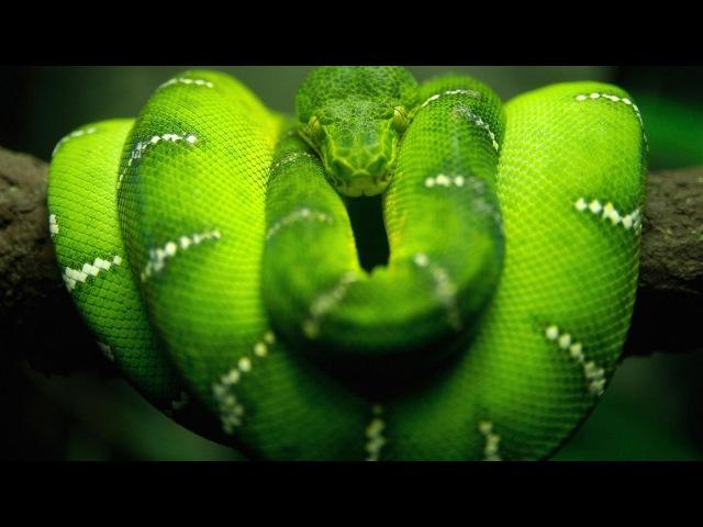 Красота змей Чарующие и опасные рептилии Документальный фильм Discovery HD