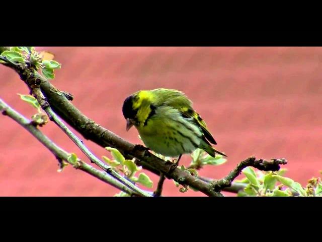Пение птиц. Чиж (Carduelis spinus).