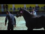 V ежегодный аукцион лошадей карачаевской породы