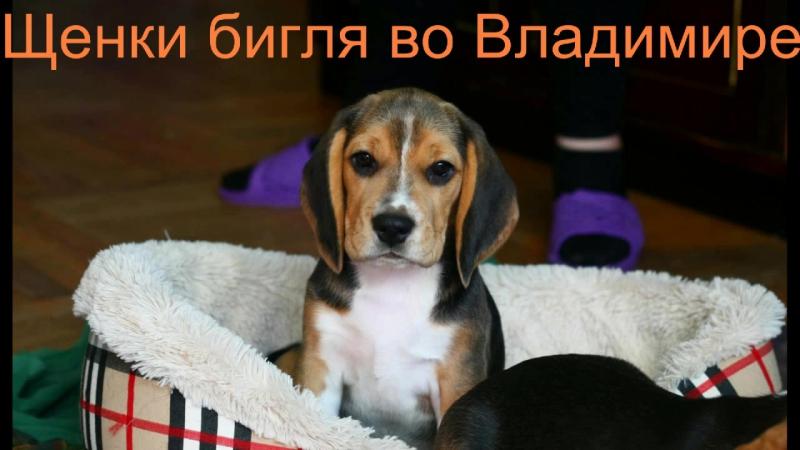 щенки бигля во Владимире ищут любящих хозяев