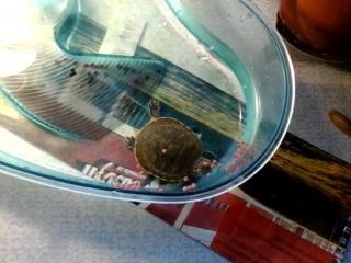 одноглазая черепаха