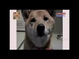 Азиаты научили пса гавкать шепотом (6 sec)