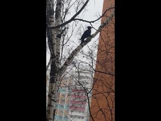 Дятел Желна в Москве
