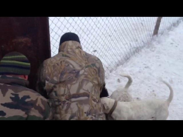 17 января 2017 г. Снятие бульдогов (Хана и Беллы) с секача