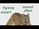 The Animal Sounds: Lynx Snarl - Sound Effect - Animation