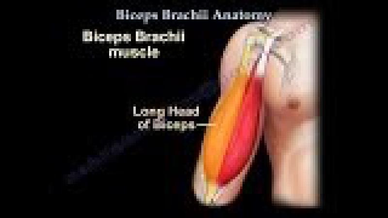 Biceps Brachii Anatomy - Everything You Need To Know - Dr. Nabil Ebraheim