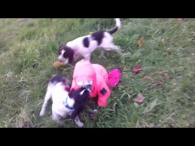 Щенки Английского Спрингер спаниеля - Puppy English Springer spaniel