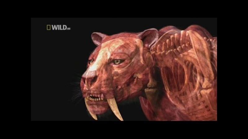 Доисторические хищники — Саблезубый Тигр (Документальные фильмы HD)