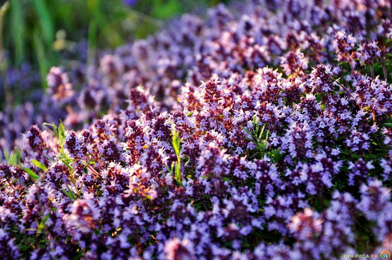 Преимущества травы Чабрец (Thymus Vulgaris) - лечение чабрецом