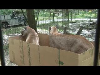 Британские ученые провели ряд экспериментов и установили, что коробка - универсальная ловушка для любого кота. Любого!