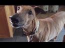 Собака лесоруба