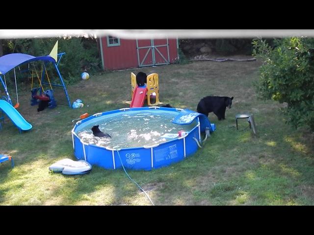 Медведица и 5 медвежат целый час купались в бассейне