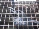 Говорящий ворон Яша Talking raven Калининградский зоопарк