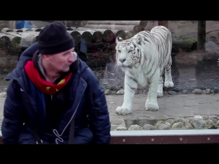 Белый бенгальский тигр нападает на человека