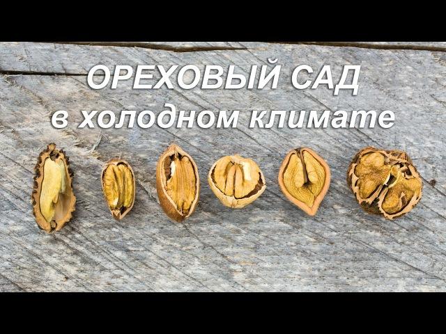 Ореховый сад в холодном климате