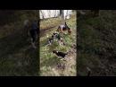 Эстонские гончие ,щенки VID 20171010 104744