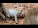 Monkey Sweat pea can walk and eat some food but he got Injured on his mouth - Animals Life - part 70