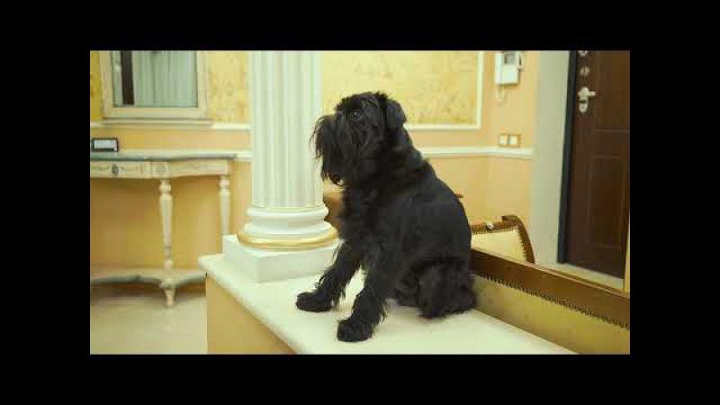 Бельгийский (брюссельский) гриффон. Гарри Шторм идеальная собака для дома. Видео...