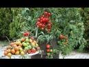Огромный урожай томаты в бочке ЭМ компост от фитофторы