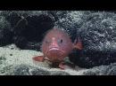 Sea Toad: Deepwater Wonders of Wake