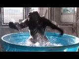 Gorilla's Latest Dance Moves in Kiddie Pool