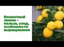 Комнатный лимон как вырастить в домашних условиях ❀ удобрения для лимона ❀ полезные советы hitsadtv