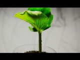 Baobab_ The Tree of Life (Adansonia Digitata Timelapse)