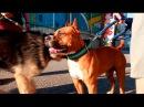 Dog show. Кызылорда первая выставка собак. 13.05.2017