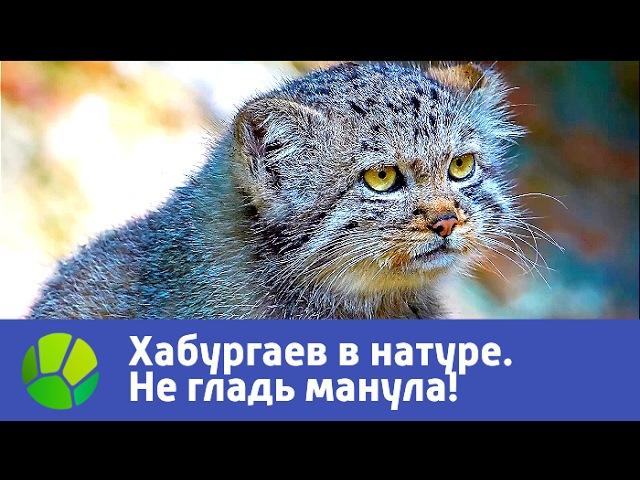 Не гладь манула Хабургаев в натуре Живая Планета