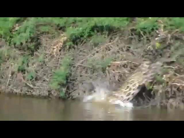 Jaguar diving into river to catch a Caiman · coub, коуб