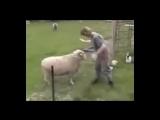 Атака баранов полная нарезка 100% смеха
