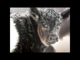Belted Galloway Calf Pastel Demonstration by Roberta