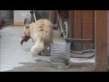 Кот воришка. Мохнатый любитель рыбки.