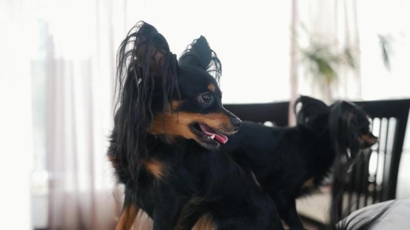 Русский Той-Терьер ➠ Узнайте все о породе собаки