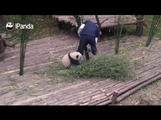 Панда любит обниматься