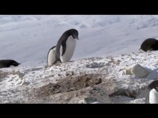 Очень хитрый пингвин