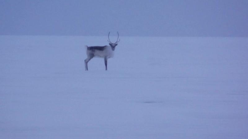 Самец-красавец дикого островного северного оленя - убегает