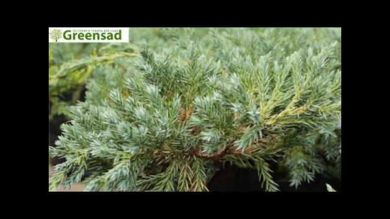 Можжевельник чешуйчатый Блю Карпет - видео-обзор от Greensad