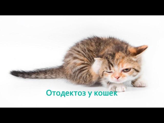 Отодектоз у кошек. Ветеринарная клиника БИО-ВЕТ.