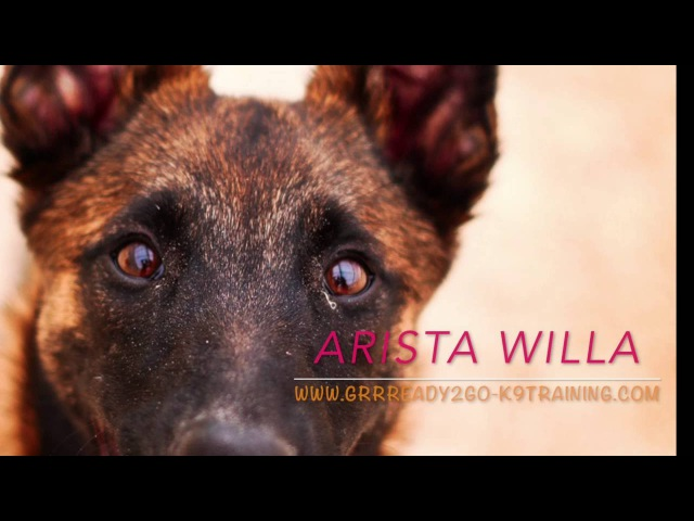 Willa - agility foundations of a crazy malinois girl (part 1)