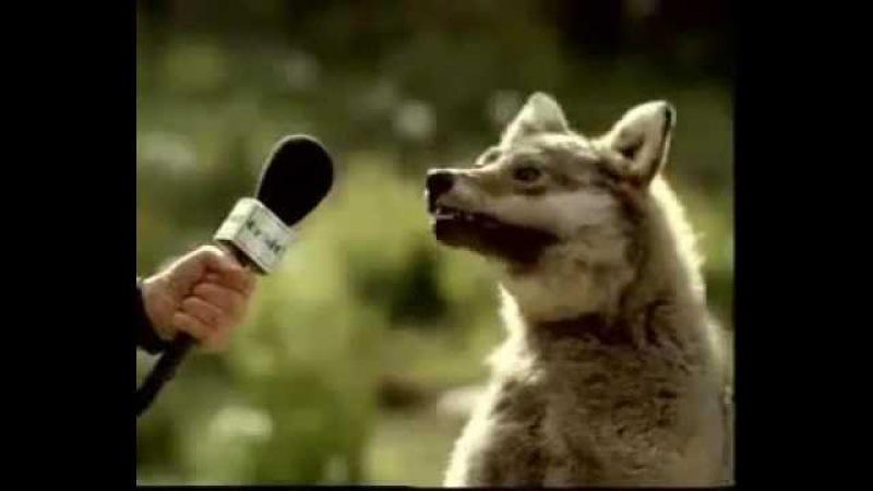 Волк сошел с ума Волк жует траву
