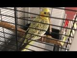 Попугай Леха