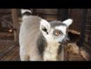 Кошачий лемур Рокки