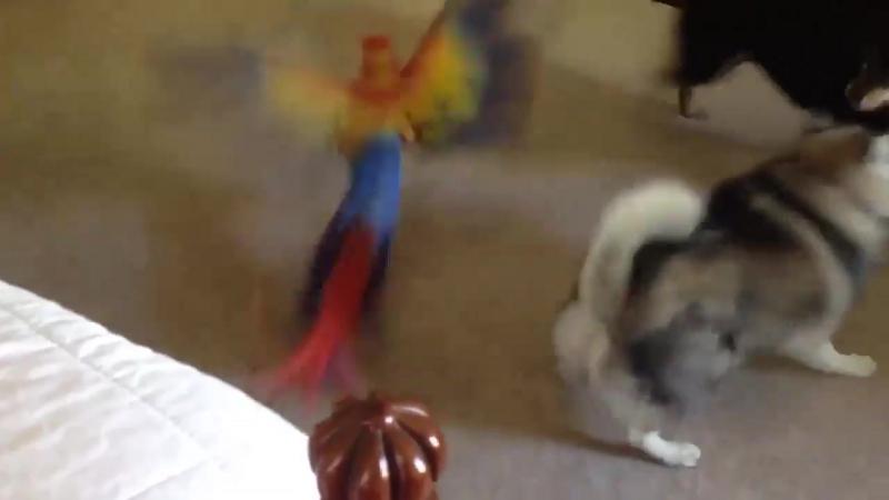 Шиба ину защищает попугая.Смотреть видео.